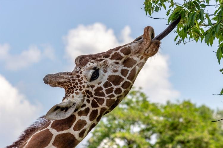 giraffe licking